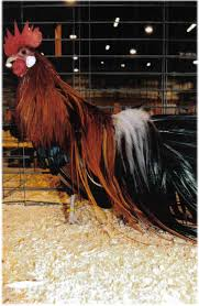 bantam poultry