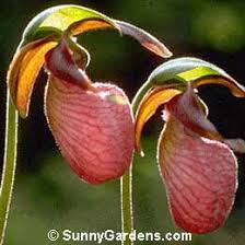 pink lady slipper orchid