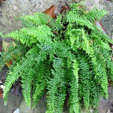 indoor fern