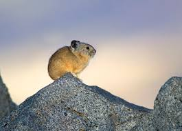 pictures of pikas