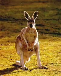 endangered kangaroos