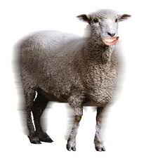 ewe picture