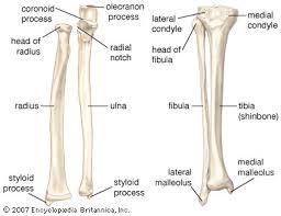 bones in the human leg