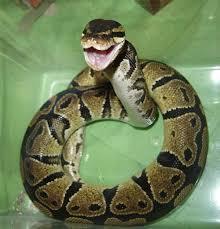 ball pythons pics
