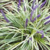 liriope monkey grass
