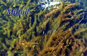 milfoil weed