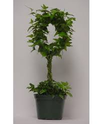 english ivy topiary