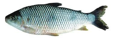 boga fish