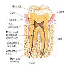 pulp teeth