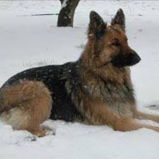 shiloh shepherd dogs
