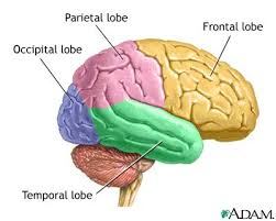 lobes of the brain and functions