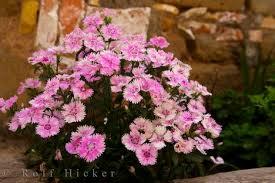 national flowers of spain