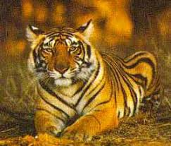 panna tiger