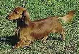 miniature dachshund longhair