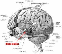 diagram of a human brain