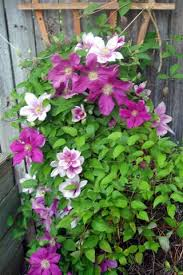 climbing flower