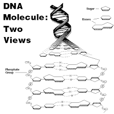 dna model labeled