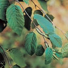 birch betula