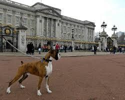 boxer dog shows