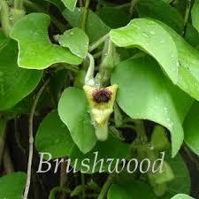 aristolochia tomentosa