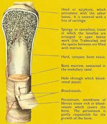 diagram of long bone
