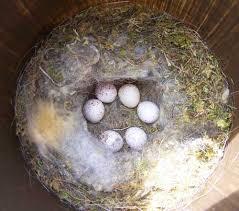 black capped chickadee nest