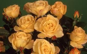 bell roses
