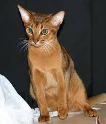 abyssinian photos