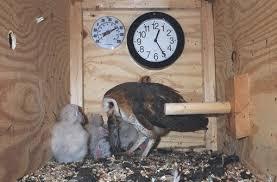 barn owl nests