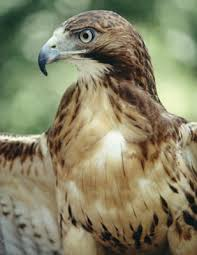 pictures of hawk