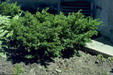 dwarf yews