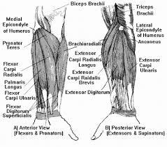 flexors of the hand