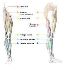 human body leg