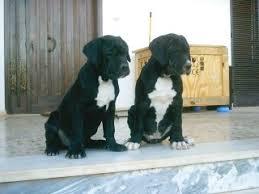 bandog puppies