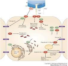 e coli model