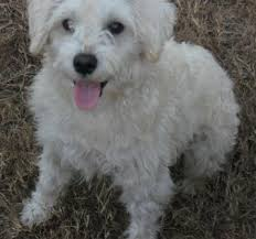 poodle dachshund mix