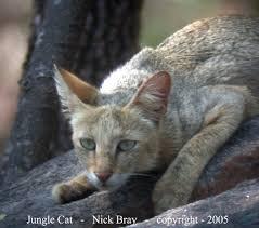 african jungle cat
