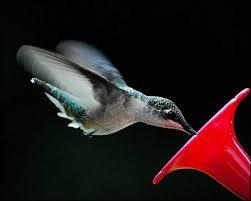 pictures of hummingbirds in flight