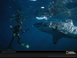 carcharodon megalodon pictures