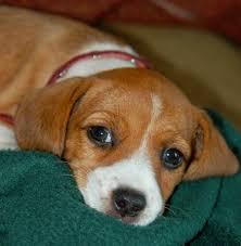 beagle terrier mix puppy