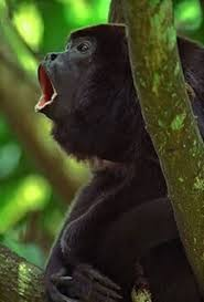 howler monkey pictures