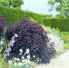cotinus smoke bush