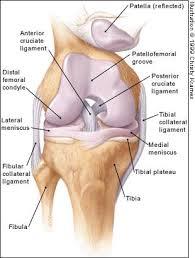 knee joint diagram