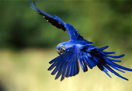 hyacinth macaw parrot
