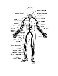 human anatomy veins