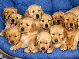 gold retriever puppies