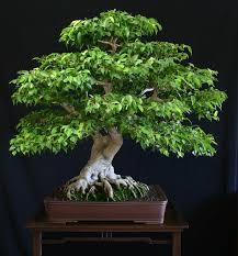 ficus tree picture
