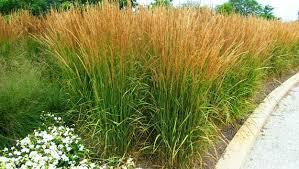ornamental grasses photos