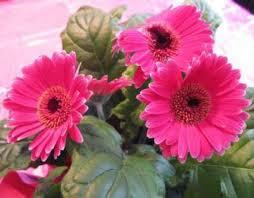 plants daisy