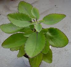 gambar tanaman hiasan